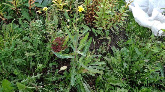 molochaj-sornyak-ogorod-gryadka-cvety