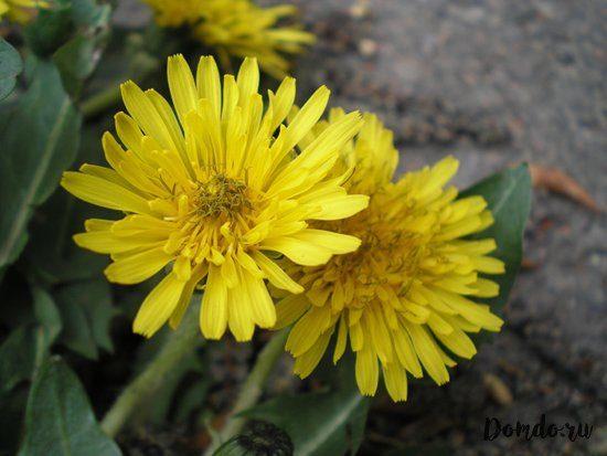 cvetushchij-zheltyj-oduvanchik-cvetok