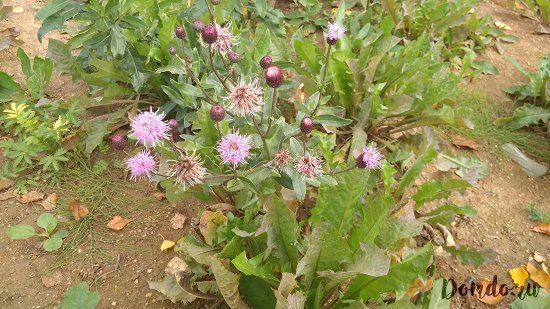 osot-rozovyj-cvvetok-cvetet
