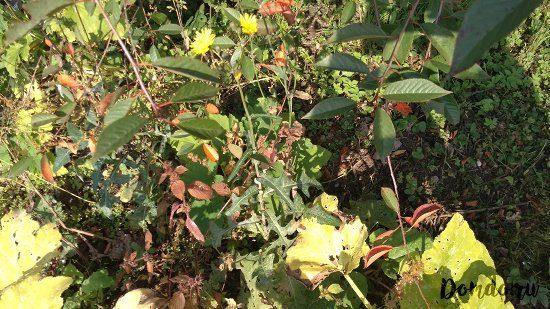 polevoj-osot-s-zhyoltymi-cvetami