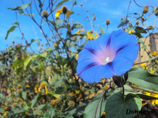 sornyak-beryozka-polevoj-vyun-sinij-cvetok
