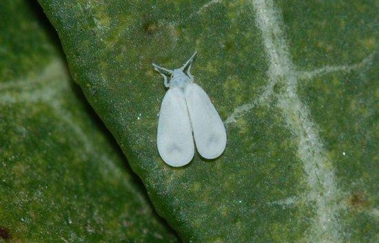 belokrylka-aleyrodidae