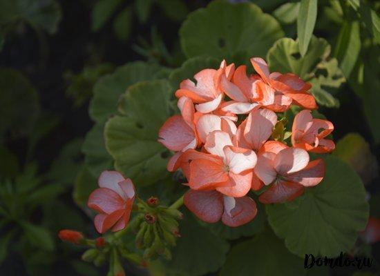 geran-cvety