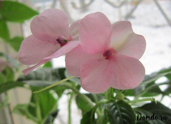 balzamin-cvety