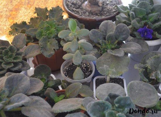 domashnie-cvety-sukkulenty