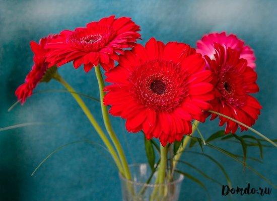 gerbery-cvety