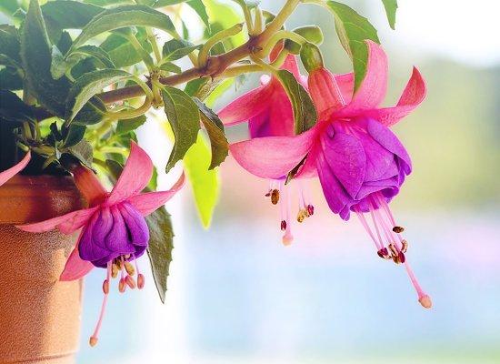 fuksiya-cvety