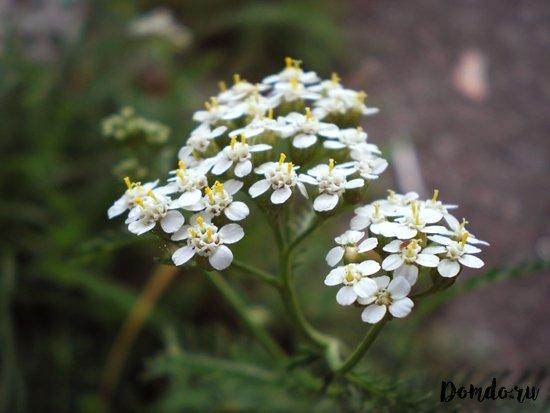 cvety-tysyachelistnika