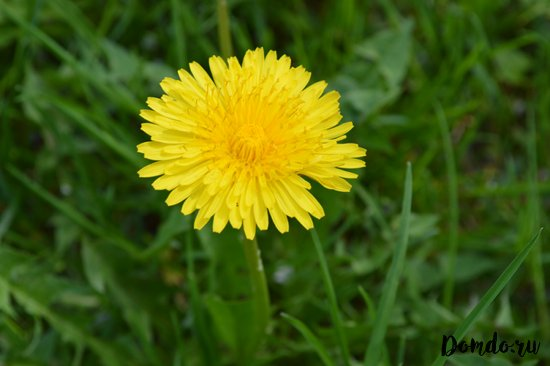 oduvanchik-cvety
