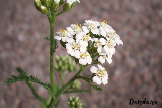 tysyachelistnik-cvety