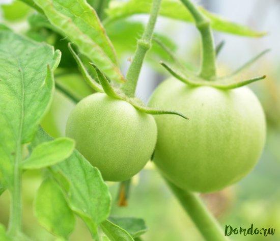zelyonye-tomaty-v-teplice