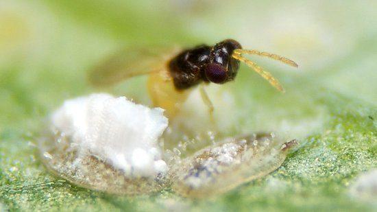 foto-parazit-ehnkarziya