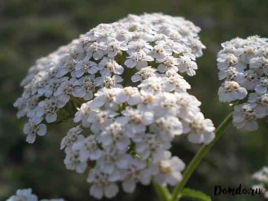 tysyachelistnik-cvety-foto