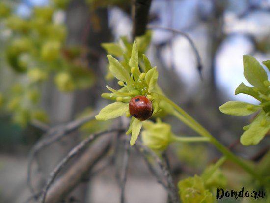 bozhya-korovka-vetka-listya