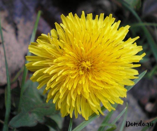 oduvanchik-cvetok