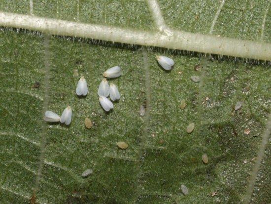 belokrylka-aleyrodidae-lichinki-rastenie