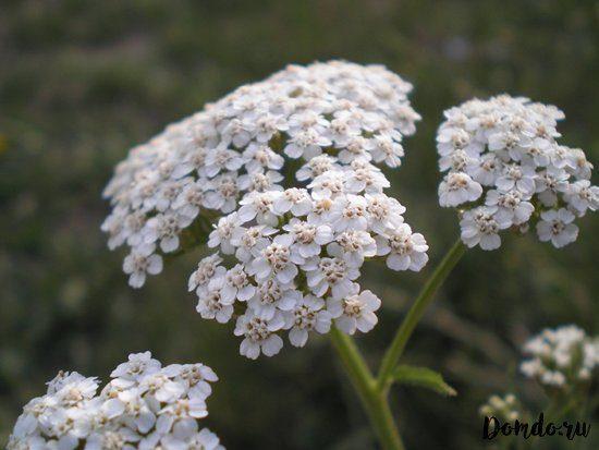 cvetushchij-tysyachelistnik